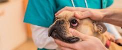 chore oczy u psa