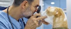 weterynarz bada psu oczy